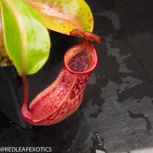 Load image into Gallery viewer, redleaf exotics – nepenthes for sale-90