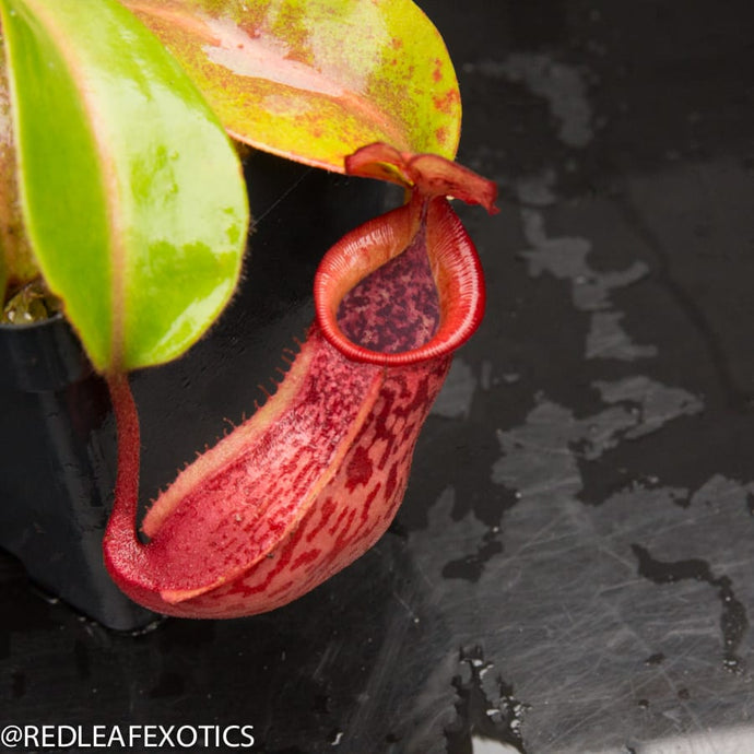 redleaf exotics – nepenthes for sale-90