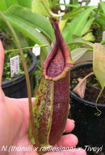 Load image into Gallery viewer, Redleaf Exotics – Nepenthes (thorelii x rafflesiana) x Tiveyi
