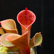 Load image into Gallery viewer, Heliamphora minor 'Burgundy Black' for sale at Redleaf Exotics.