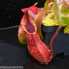 Load image into Gallery viewer, Nepenthes bokorensis x veitchii for sale at Redleaf Exotics.