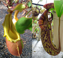 Load image into Gallery viewer, redleaf exotics nepenthes veitchii – highland, gold peristome x {maxima x [(stenophylla x lowii) x (Rokko x veitchii)]}