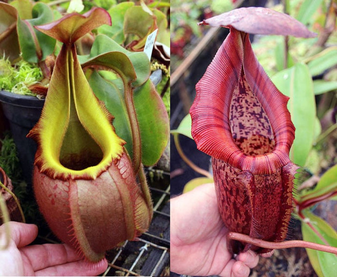 Redleaf Exotics Nepenthes veitchii – pink, long neck x (adrianii x burbidgeae)