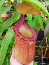Load image into Gallery viewer, Redleaf Exotics Nepenthes ventricosa x ephippiata
