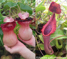 Load image into Gallery viewer, Redleaf Exotics – nepenthes (ventricosa x sibuyanensis) x (truncata xTM