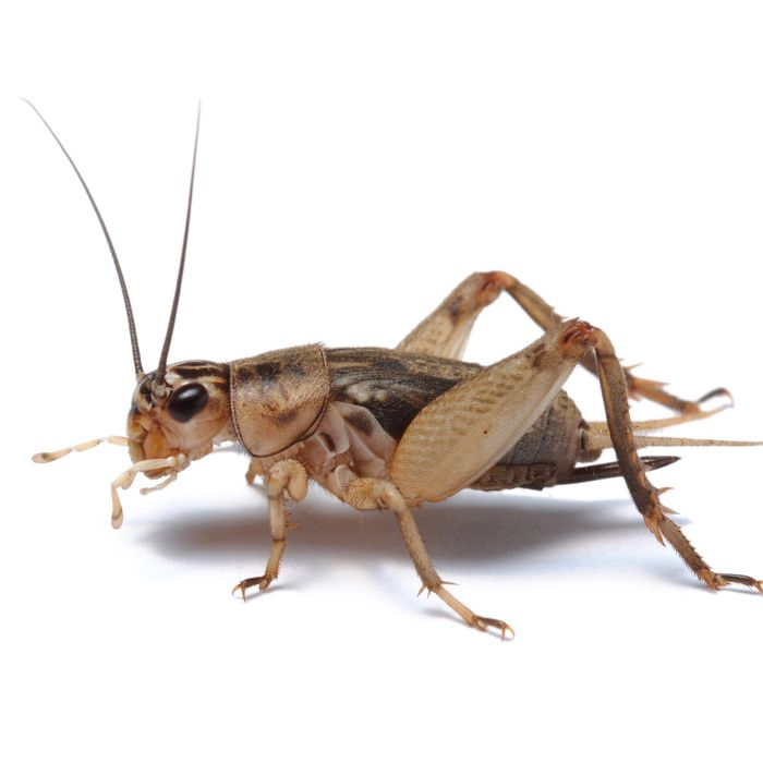 Brown House Crickets, 5ths, Standard (15-18 mm)