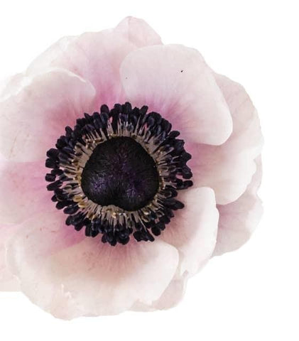 Anemone Flat Light Pink Flower