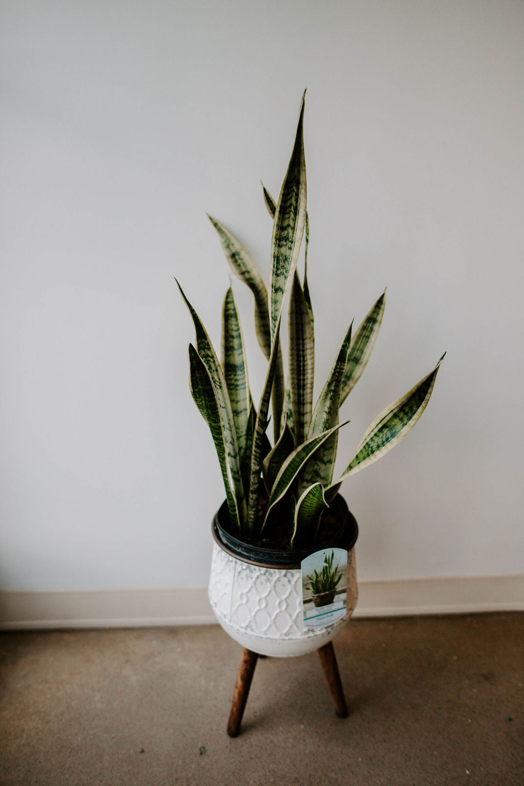 Snake Plant + Plant Stand