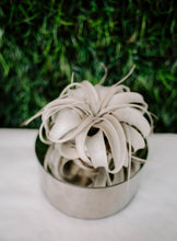 Load image into Gallery viewer, Tillandsia Xerographica Air Plant