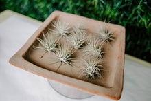 Load image into Gallery viewer, Tillandsia Air Plants