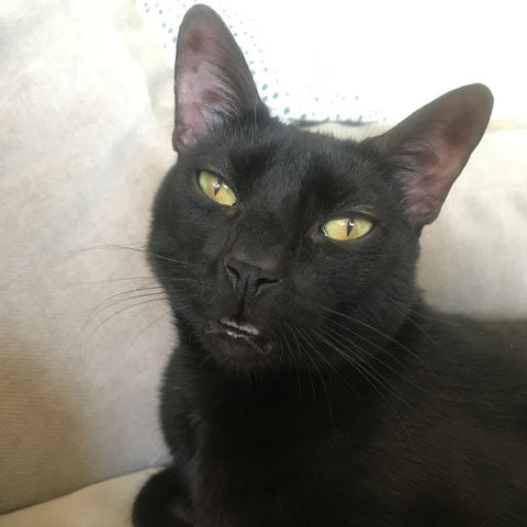black cat with green eyes has mouth partially open