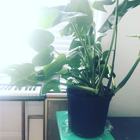 large monstera plant in black pot sits on green stand with keyboard in the background