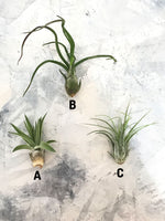 Load image into Gallery viewer, Three different kinds of air plants on a marble background. Airplant A: TILLANDSIA VELUTINA. Air plant B: TILLANDSIA CAPUT-MEDUSAE. Airplant C: BULBOSA GUATEMALA.