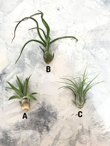 Three different kinds of air plants on a marble background. Airplant A: TILLANDSIA VELUTINA. Air plant B: TILLANDSIA CAPUT-MEDUSAE. Airplant C: BULBOSA GUATEMALA.