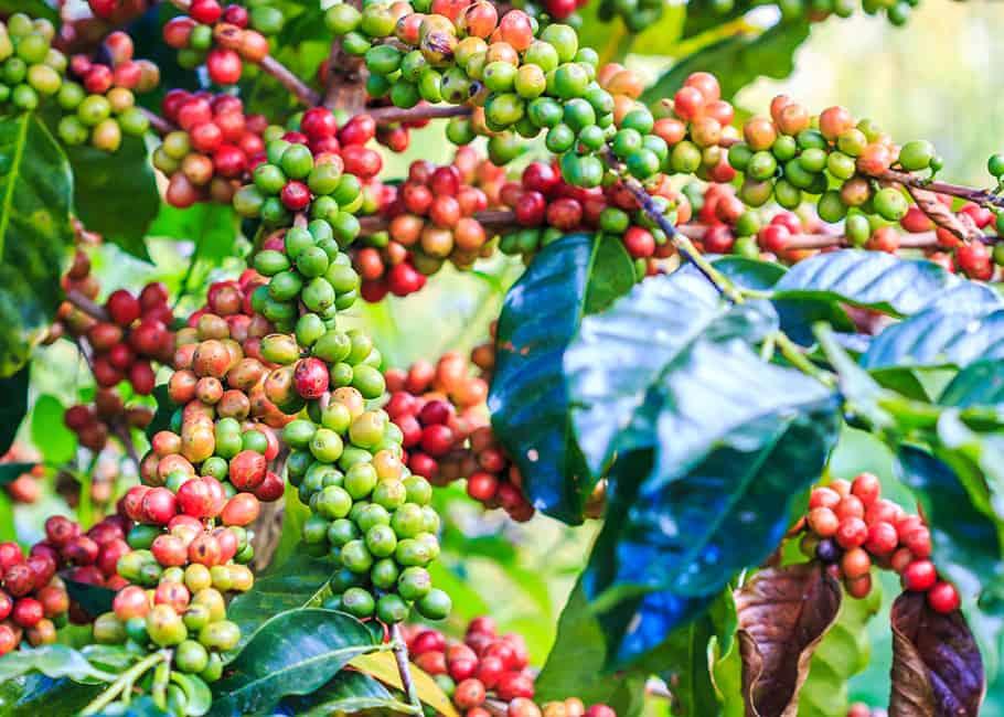Arabica Beans growing on the plant