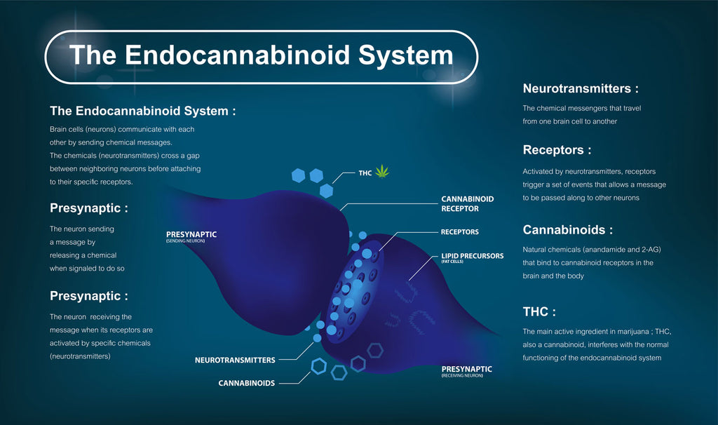 What Is The Role Of The Endocannabinoid System?