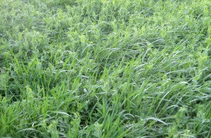 Winter Garden Cover Crops - Grain Rye, Hairy Vetch, Clovers and Winter Peas in Michigan