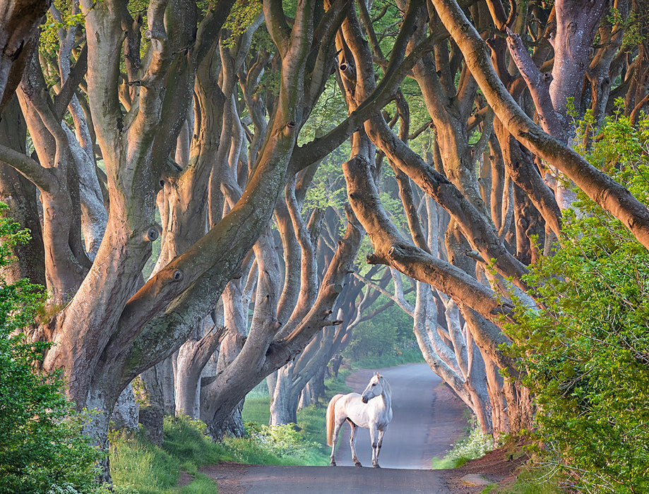 Daniel Anderson: Dark Hedges and Horse