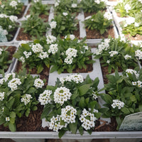 CFL Alyssum Six Pack