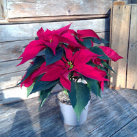Poinsettia 'Christmas Feelings' - Red