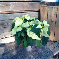 Poinsettia 'Christmas Feelings' - Pale Yellow