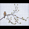 "American Kestrel and Apple Blossoms - 10""x14"" 252 piece puzzle"