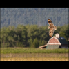Short-eared Owl and Mission Valley Barn
