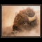 Rutting Bison Framed Canvas Wraps - New!