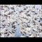 "Montana Snow Geese in Motion - 10""x14"" 252-piece puzzle"