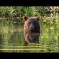 "Bathing Bear, Mission Valley, Montana - 10""x14"" 252 piece puzzle"