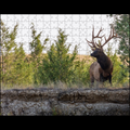 "Bull Elk, Mission Valley, Montana - 10""x14"" 252 piece puzzle"