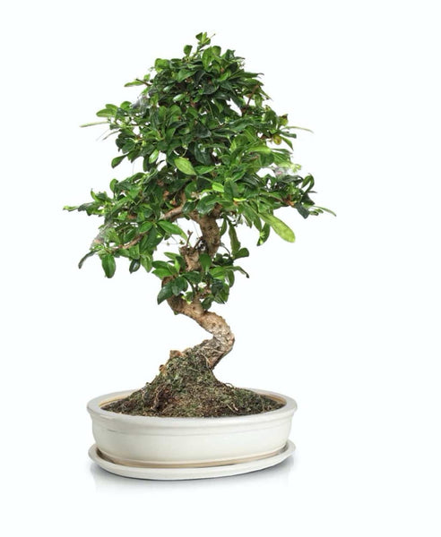 BONSAI vazonas 16035