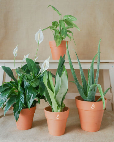 INNER PEACE - Plant Family of 4