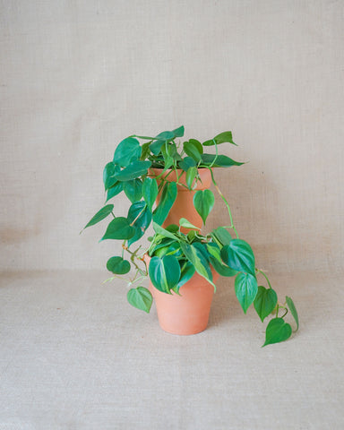 Curae_Plant_Green Draped_Philodendron