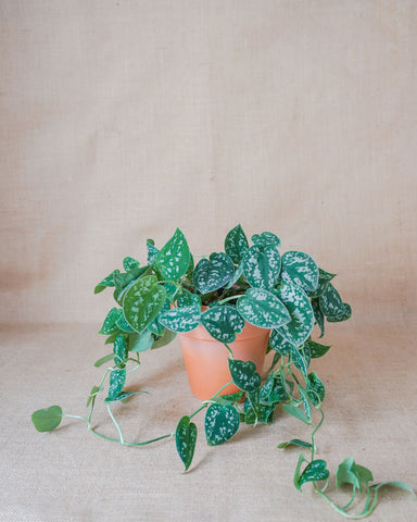 POTHOS (Satin) - Loving Plant