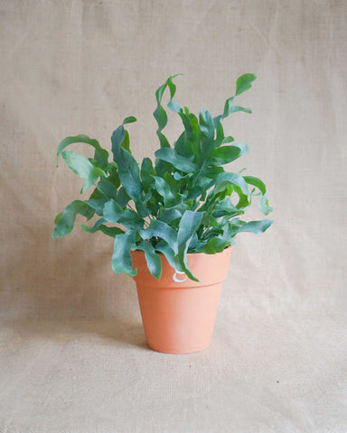Curae_Plant_Blue Star_Fern