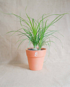 Curae_Plant_Ponytail_Palm