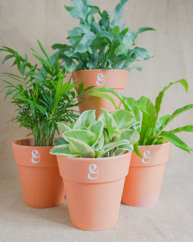 Curae_Plant Family_Fern_Peperomia_Palm