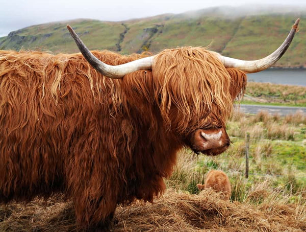 Highland Cow Diy Paint By Numbers Kits UK AN0203