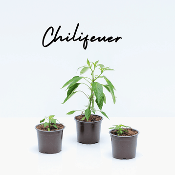 Chilifeuer
