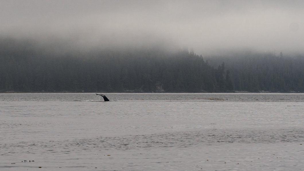 Whale in the Fog, Hecate Straight, Gwaii Haanas National Park Reserve, BC.