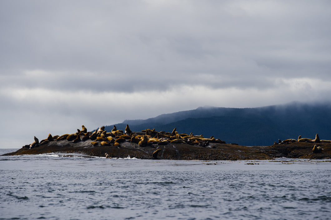 Stellar's Sea Lion Haulout, Hecate Straight, Gwaii Haanas National Park Reserve, BC.