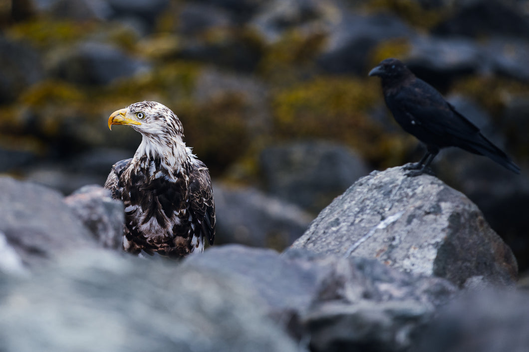Raven and Eagle on the Shore, Hecate Straight by Queen Charlotte City, Haida Gwaii, BC.