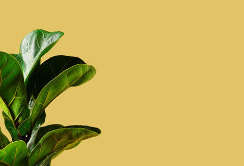 Fiddle leaf fig leaf that is in front of a wheat coloured background