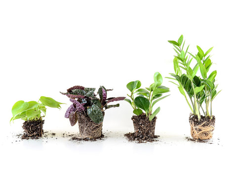 Indoor plants showing roots in need of repotting services and will become healthier if repotted to a larger pot. You can use a nursery pot and most will be happy in free drainage soil.