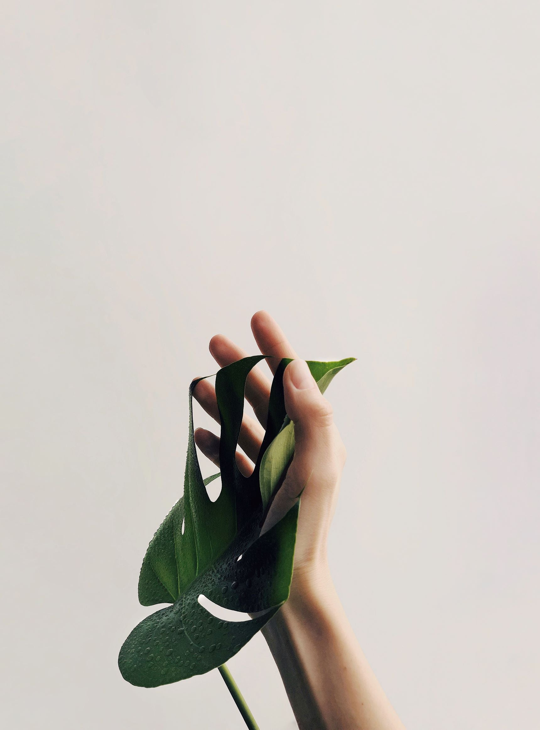 monstera swiss cheese plant leaf being held by persons hand