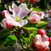 Small Riau Candle - Apple Blossom