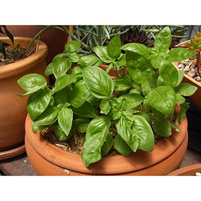 Window Garden - Basil Herb Starter Kit - Grow Your Own Food. Germinate Seeds on Your Windowsill Then Move to a Patio Planter or Vegetable Patch. Mini Greenhouse System Make's it Foolproof, Easy and Fun.