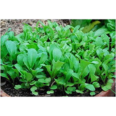Window Garden - Arugula Vegetable Starter Kit - Grow Your Own Food. Germinate Seeds on Your Windowsill Then Move to a Patio Planter or Vegetable Patch. Mini Greenhouse System - Easy. (Arugula)