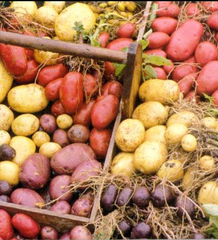 Colored potatoes can be hard to find, but worth the search!